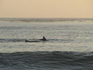 dolphins at Carmel