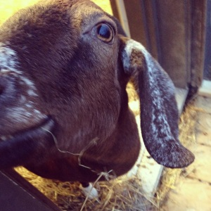 Dottie is a very curious goat!